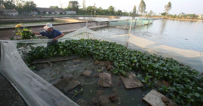Nuôi ếch khổng lồ thu lãi 3 tỷ đồng mỗi năm