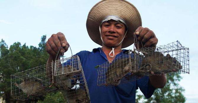 Theo chân thợ bẫy chuột không cần mồi nhử ở Đồng Tháp Mười