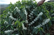Sản lượng cà phê Việt Nam có thể đạt kỷ lục trong niên vụ 2017 - 2018