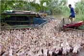 'Nghiện' kháng sinh trong chăn nuôi
