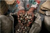 Ngành điều Việt Nam đối mặt với nguy cơ thiếu hụt nguồn cung