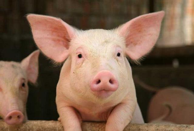 Ảnh hưởng dịch tả lợn châu Phi, Dabaco sụt giảm 87% lãi ròng trong quý 3/2019