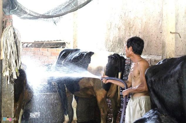 Giá sữa thấp hơn nước lọc, nông dân Củ Chi bán bò lỗ hàng chục triệu