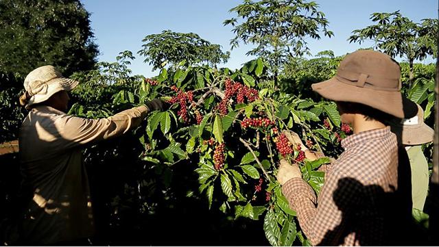 Cà phê Việt Nam: Làm sao đạt mục tiêu xuất khẩu 6 tỷ USD?