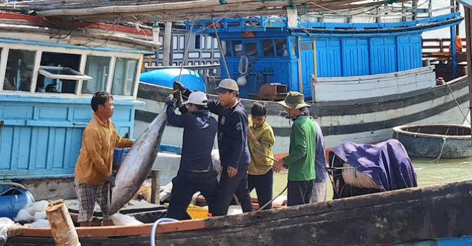 Trúng đậm cá ngừ những ngày cận Tết, có thuyền lãi vài trăm triệu