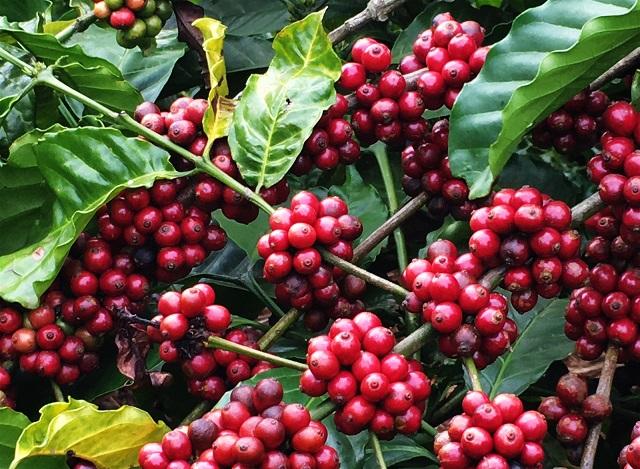 UBND tỉnh Đắk Lắk thu về hơn 133 tỷ đồng sau phiên đấu giá Cà phê Thắng Lợi