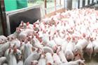 Hoà Phát nhập gần 500 con lợn khởi động dự án chăn nuôi
