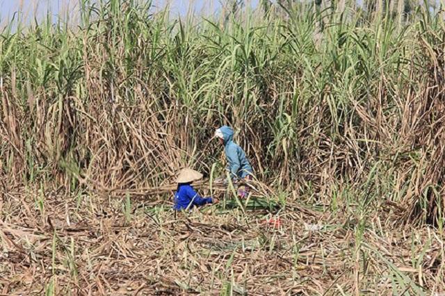 Không dễ cứu ngành mía đường