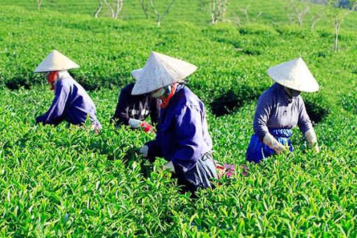 VID sẽ giảm sở hữu tại Chè Lâm Đồng về dưới 1%