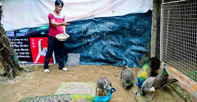Thu nhập hàng trăm triệu đồng từ nuôi chim công