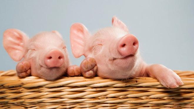 Vượt 48% chỉ tiêu lợi nhuận, Chăn nuôi Mitraco quyết định trả cổ tức năm 2016 tỷ lệ 43%