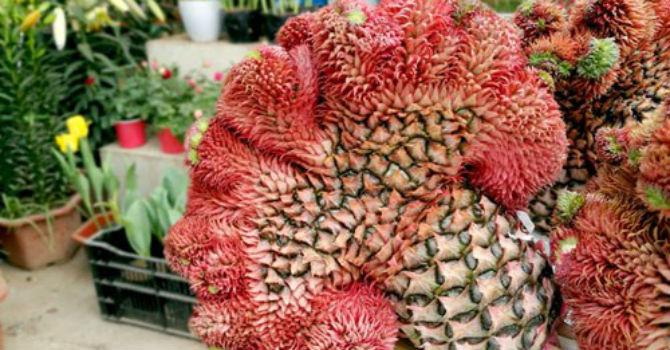Thị trường 24h: Nửa triệu trái dứa mào gà trưng Tết, đào cho thuê giá trăm triệu vắng khách