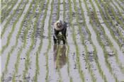 Thái Lan đa dạng hóa giống lúa để giành lại thị phần