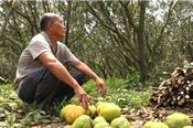Bưởi Năm Roi chết rụng trái đầy vườn, dân khóc ròng bán 1.500 đồng/kg để làm nem