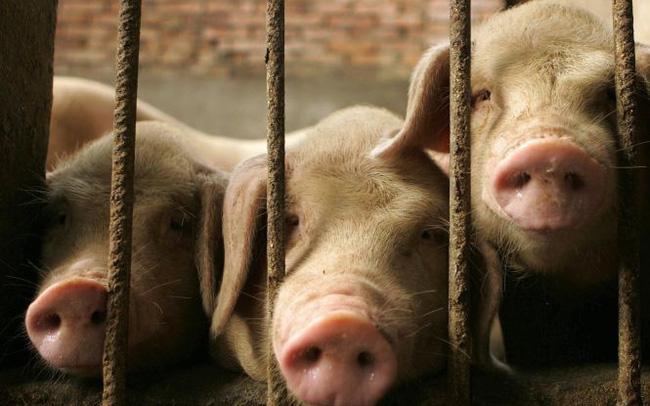 Giá thịt lợn tăng gần 70% ở Trung Quốc
