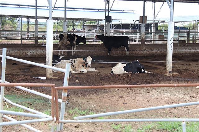 Dự án 3.000 tỉ đồng chỉ nuôi vài chục con bò?