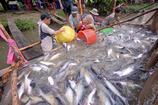 Xuất khẩu cá tra ngóng thị trường EU khi thuế về 0%