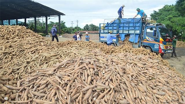 Xuất khẩu sắn sang Trung Quốc trong tháng 6 thấp nhất tính từ đầu năm